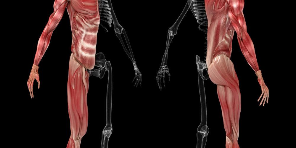corps anatomie